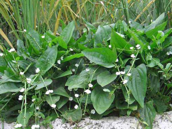 水生植物的应用价值及现状
