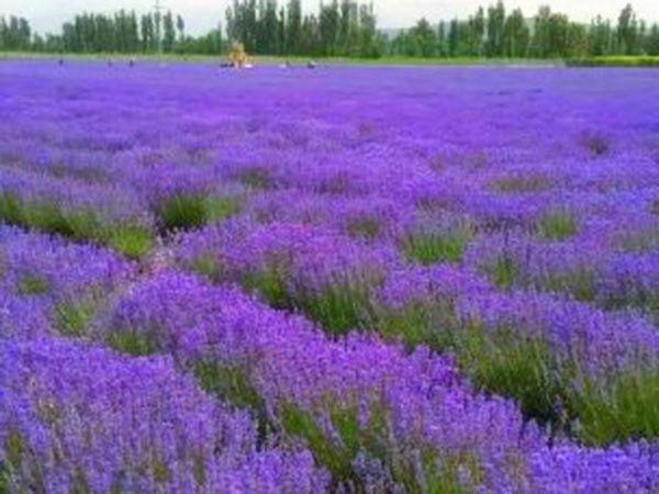 薰衣草的科学养殖方法介绍