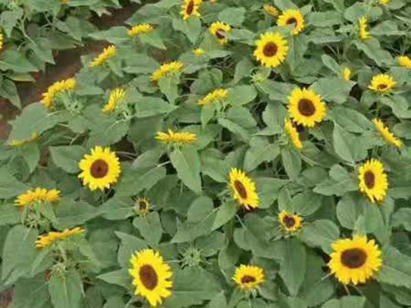 双色盆向日葵